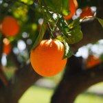 オレンジ・スィート